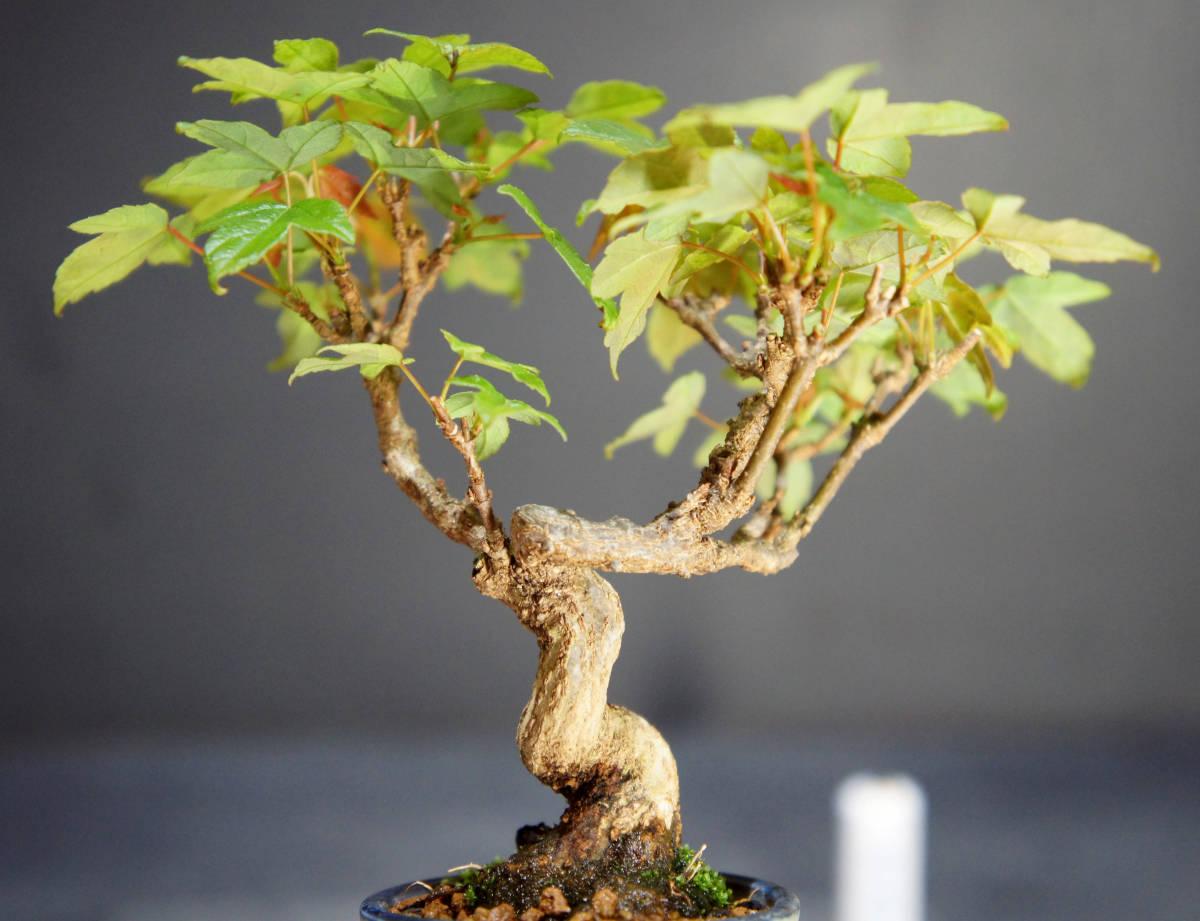 楓 ミニ盆栽 奥行10.5cm 横幅12cm 高さ12.5cm_画像6