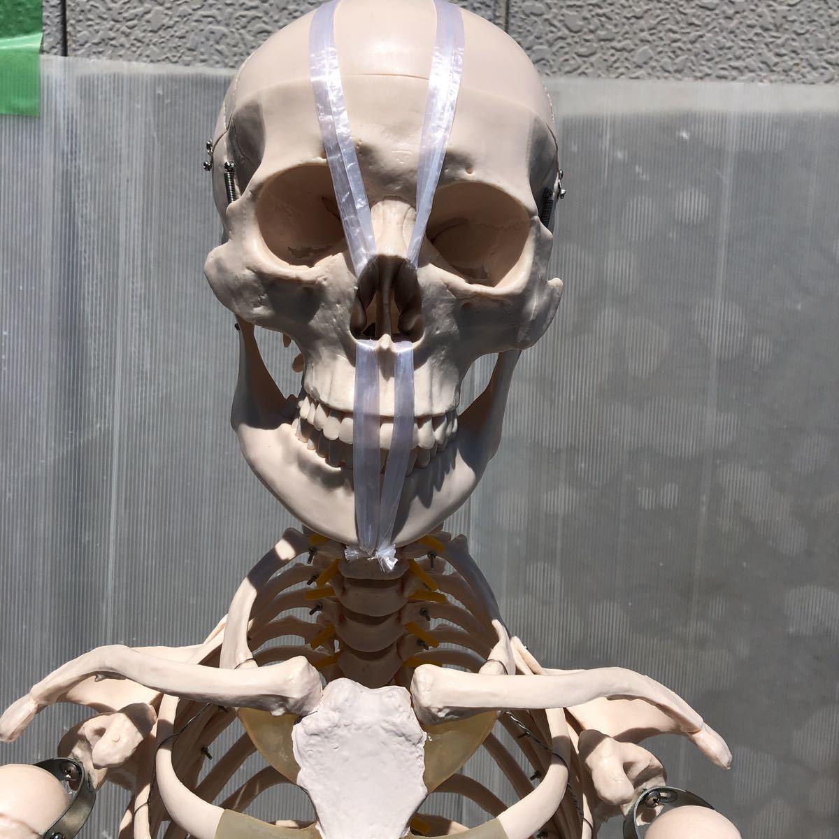 【美品】人体模型 骨格模型 骨格標本 等身大 ヒューマンスカル ガイコツ スカル 約165cm 医学 実験 骸骨 ジャンク 直接取引可能(矢199)_画像2