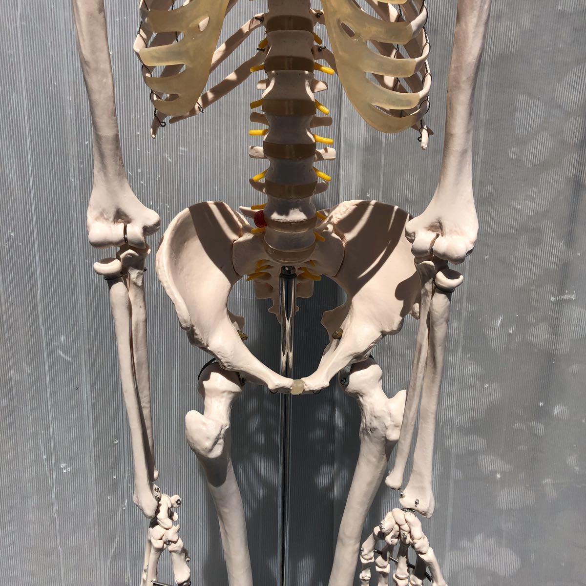 【美品】人体模型 骨格模型 骨格標本 等身大 ヒューマンスカル ガイコツ スカル 約165cm 医学 実験 骸骨 ジャンク 直接取引可能(矢199)_画像4