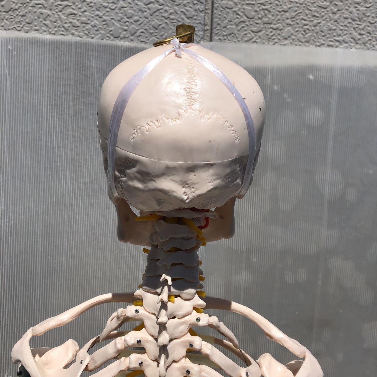 【美品】人体模型 骨格模型 骨格標本 等身大 ヒューマンスカル ガイコツ スカル 約165cm 医学 実験 骸骨 ジャンク 直接取引可能(矢199)_画像7