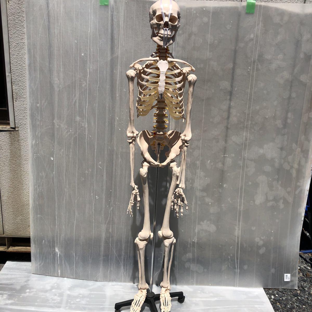 【美品】人体模型 骨格模型 骨格標本 等身大 ヒューマンスカル ガイコツ スカル 約165cm 医学 実験 骸骨 ジャンク 直接取引可能(矢199)