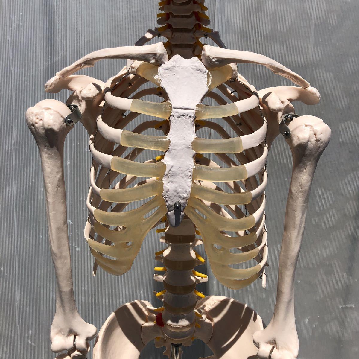 【美品】人体模型 骨格模型 骨格標本 等身大 ヒューマンスカル ガイコツ スカル 約165cm 医学 実験 骸骨 ジャンク 直接取引可能(矢199)_画像3
