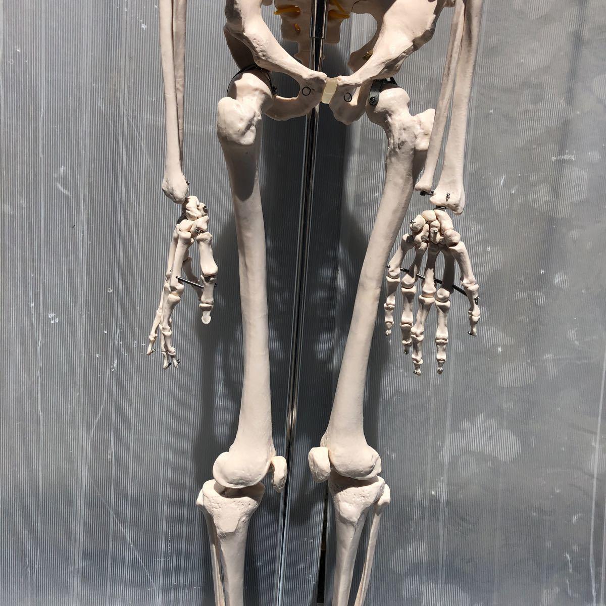 【美品】人体模型 骨格模型 骨格標本 等身大 ヒューマンスカル ガイコツ スカル 約165cm 医学 実験 骸骨 ジャンク 直接取引可能(矢199)_画像5