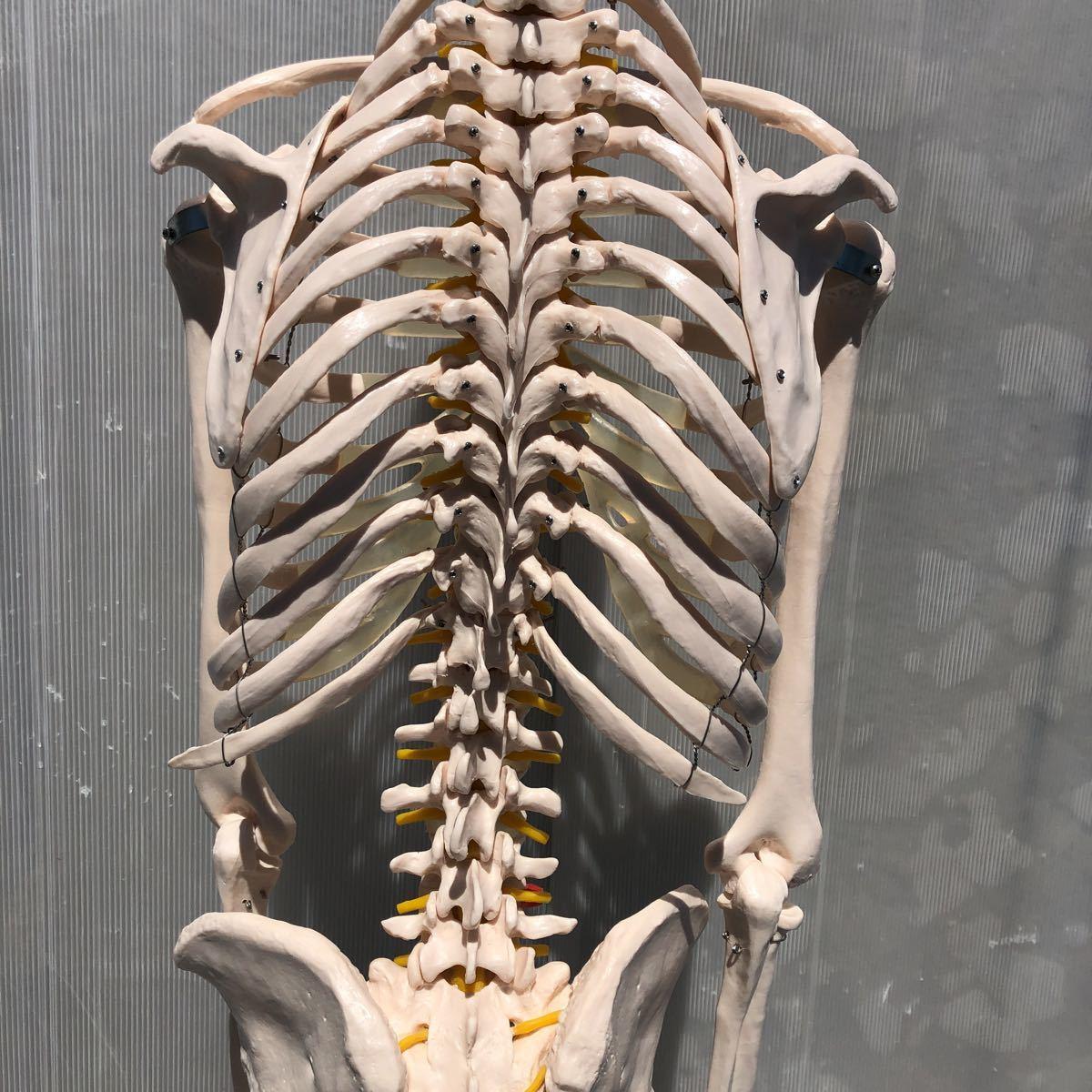 【美品】人体模型 骨格模型 骨格標本 等身大 ヒューマンスカル ガイコツ スカル 約165cm 医学 実験 骸骨 ジャンク 直接取引可能(矢199)_画像8