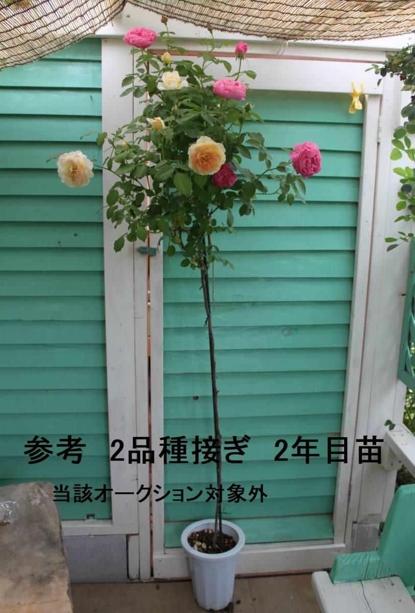 ★ばら遊人★スタンダード新苗 枝変2品種接keiji切花 いろは・風月_画像9
