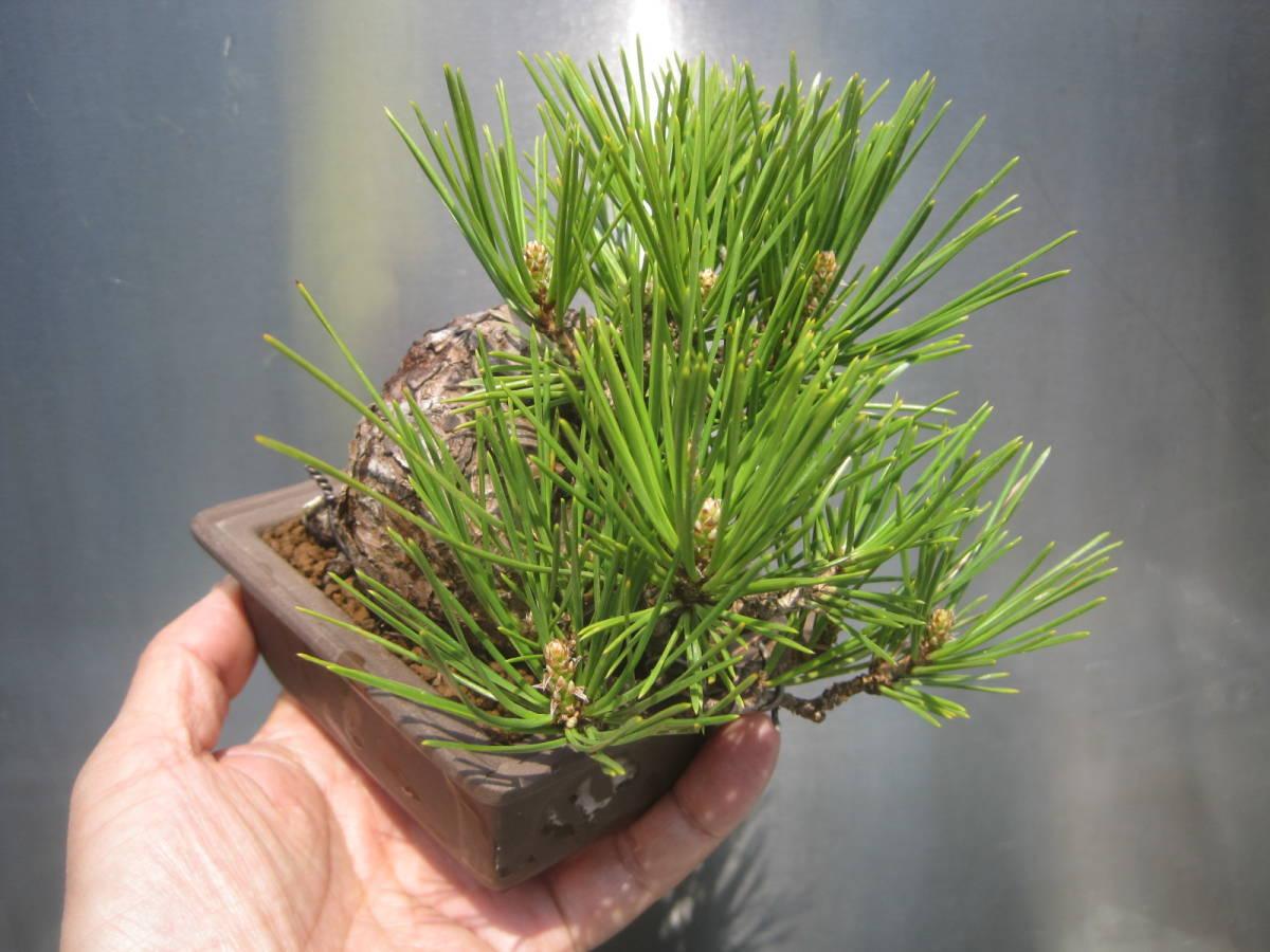【小品盆栽】 極太黒松 樹高約10センチ _画像5