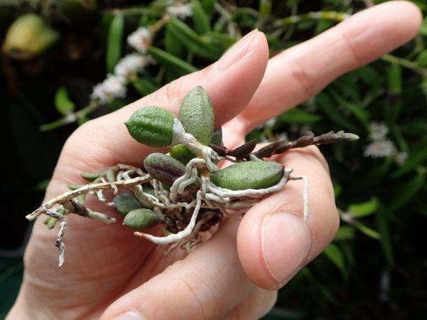 デンドロビウム・リンギフォルメとムカデラン ドックリリア 多肉葉の珍奇美花種_画像5