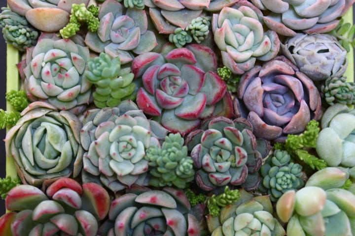 多肉植物  ブレイブ ファルラックス ミニマ他 エケベリア 根付き苗(一部カット)寄せ植えなどに♪_画像3
