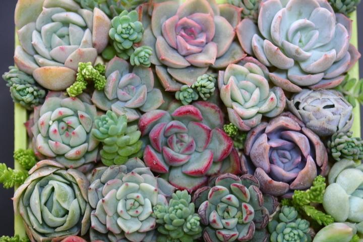 多肉植物  ブレイブ ファルラックス ミニマ他 エケベリア 根付き苗(一部カット)寄せ植えなどに♪_画像4