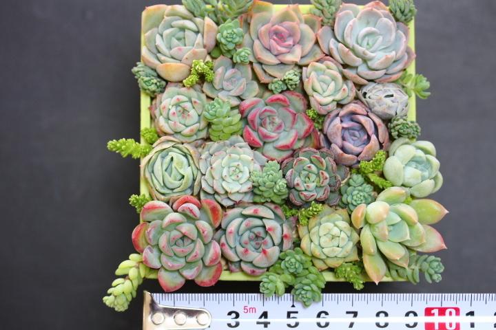多肉植物  ブレイブ ファルラックス ミニマ他 エケベリア 根付き苗(一部カット)寄せ植えなどに♪_画像6
