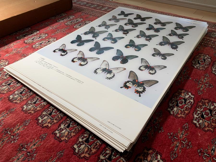 大図録 日本の蝶 竹書房 大型原色図版 猪又敏男 ハードケース付 昭和60年 昆虫 博物学 d415_画像8