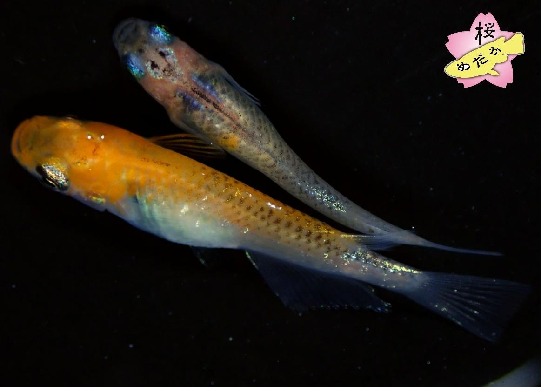 【桜めだか】現物 煌 種親候補 1ペア 産卵中 Lサイズ 1月孵化 (14) 女雛 夜桜 メダカ