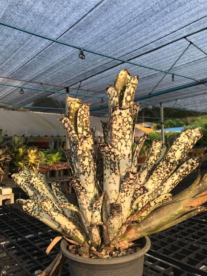 ビルベルギア☆Billbergia Limestone(Estrella ×Domingos Martins) Irvin, J Hybrid