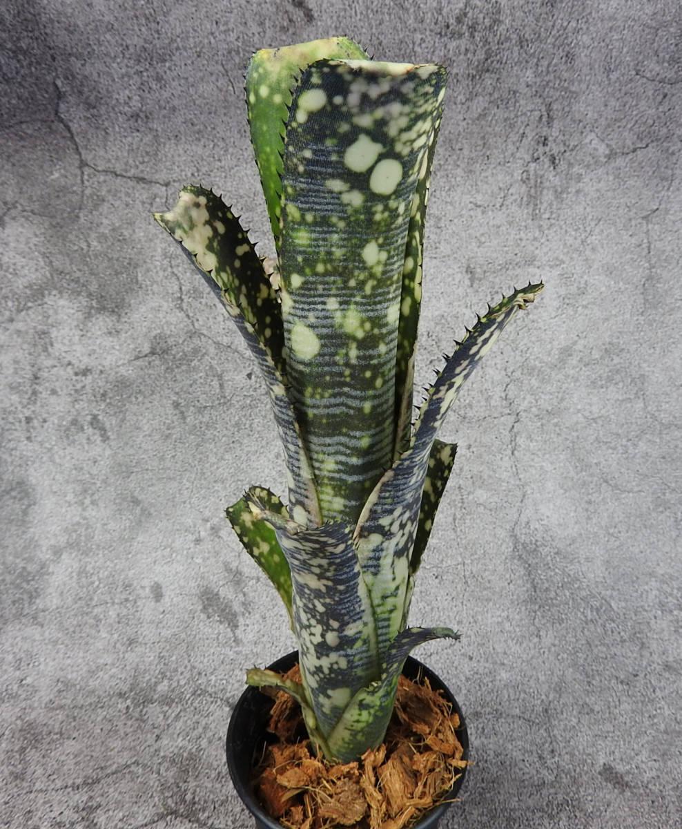 ビルベルギア☆Billbergia Limestone(Estrella ×Domingos Martins) Irvin, J Hybrid _画像4