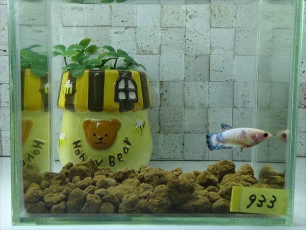 【Kinako*farm】 ベタ プラカット ファンシー ♀ = 0513-933 =  鯉 betta_画像2