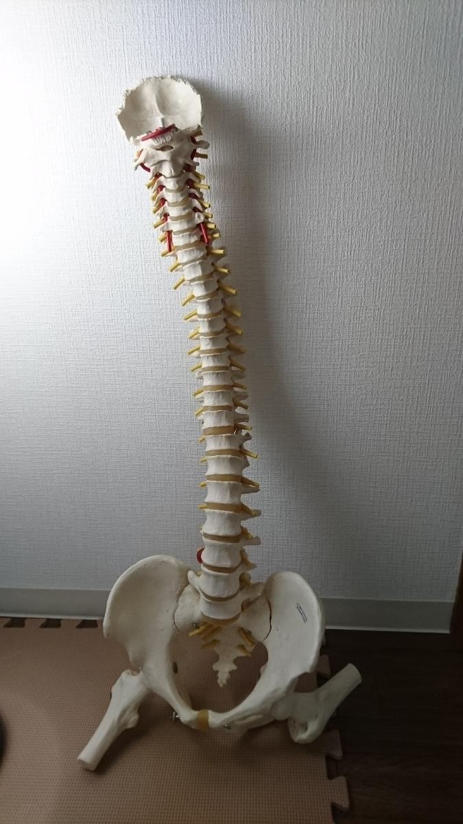 骨盤模型 『送料無料』
