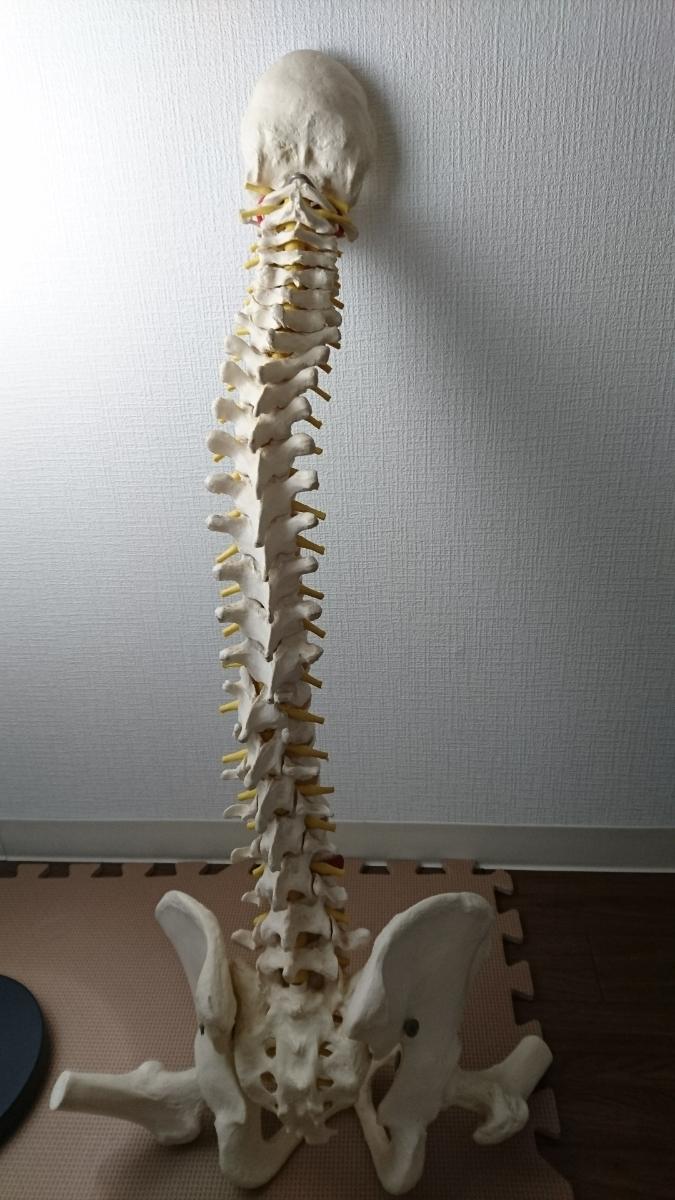 骨盤模型 『送料無料』_画像2