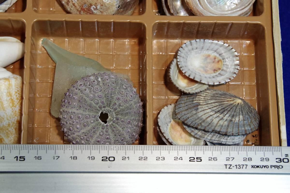 貝殻まとめて ビーチコーミング 宿題 工作 アクセサリー 手作り 水槽  標本 ウニ_画像2