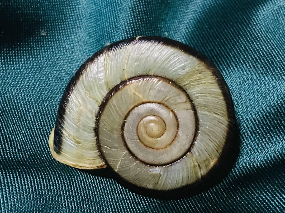 貝標本 ムラヤママイマイ 美品