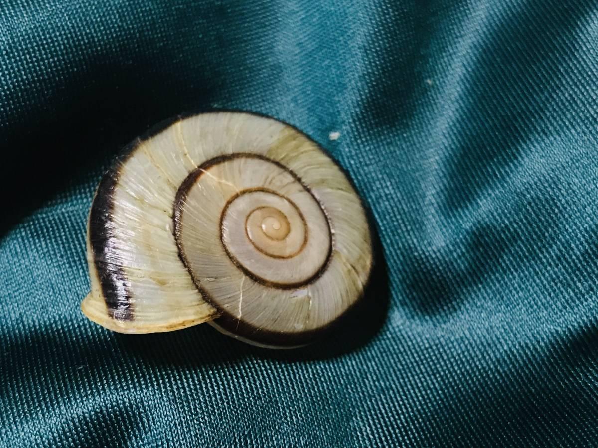 貝標本 ムラヤママイマイ 美品_画像3