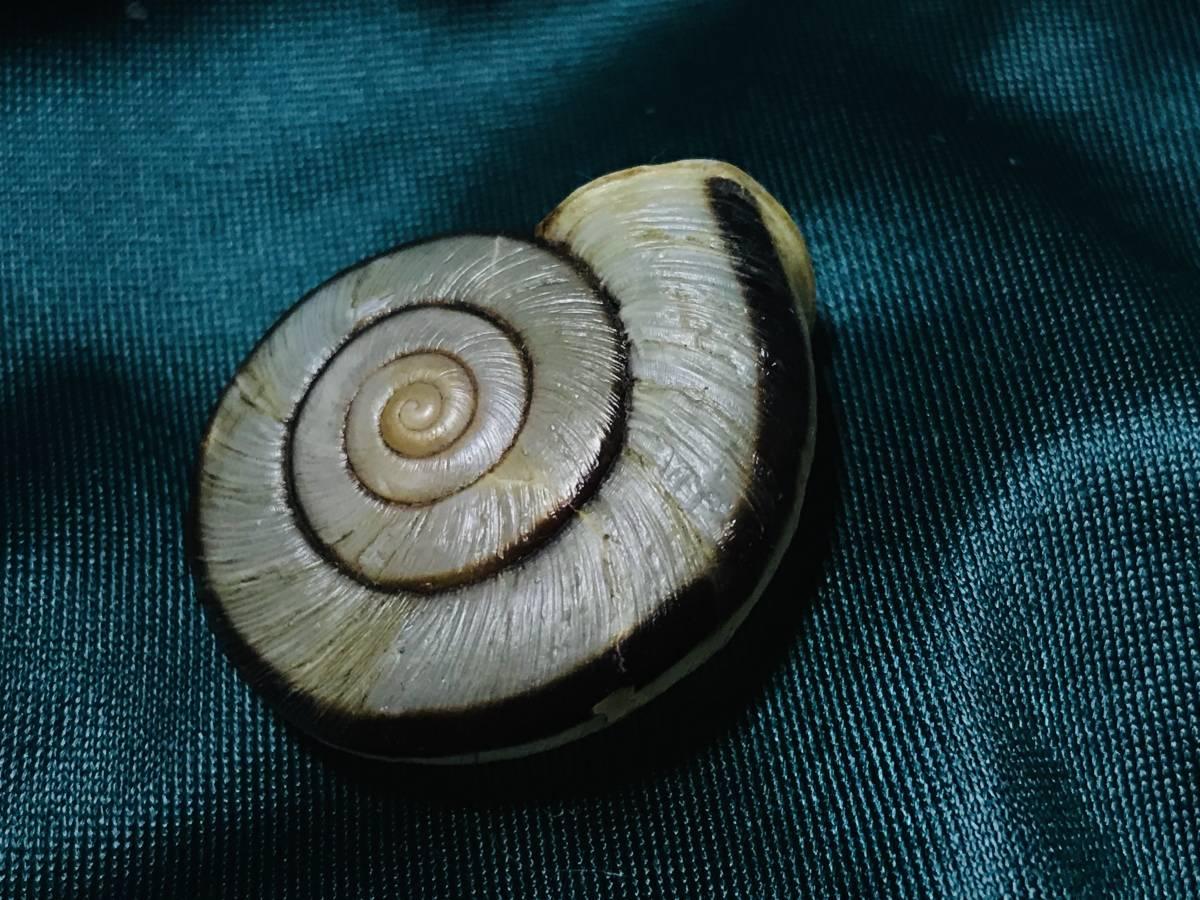 貝標本 ムラヤママイマイ 美品_画像7