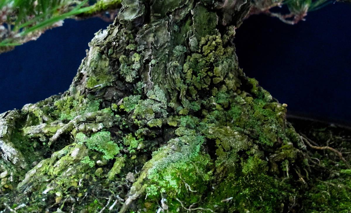 盆栽 中品 本格派 黒松 樹高43cm_画像5