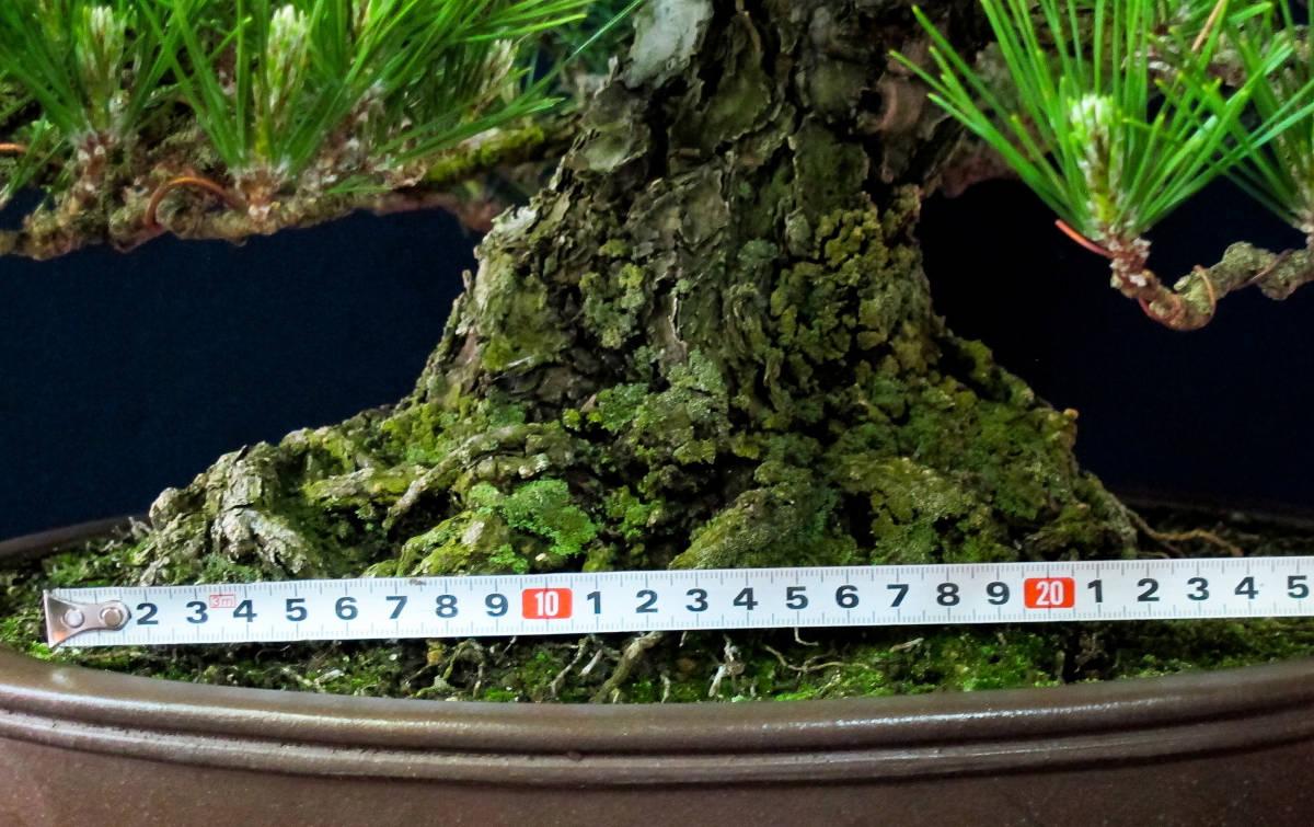盆栽 中品 本格派 黒松 樹高43cm_画像8