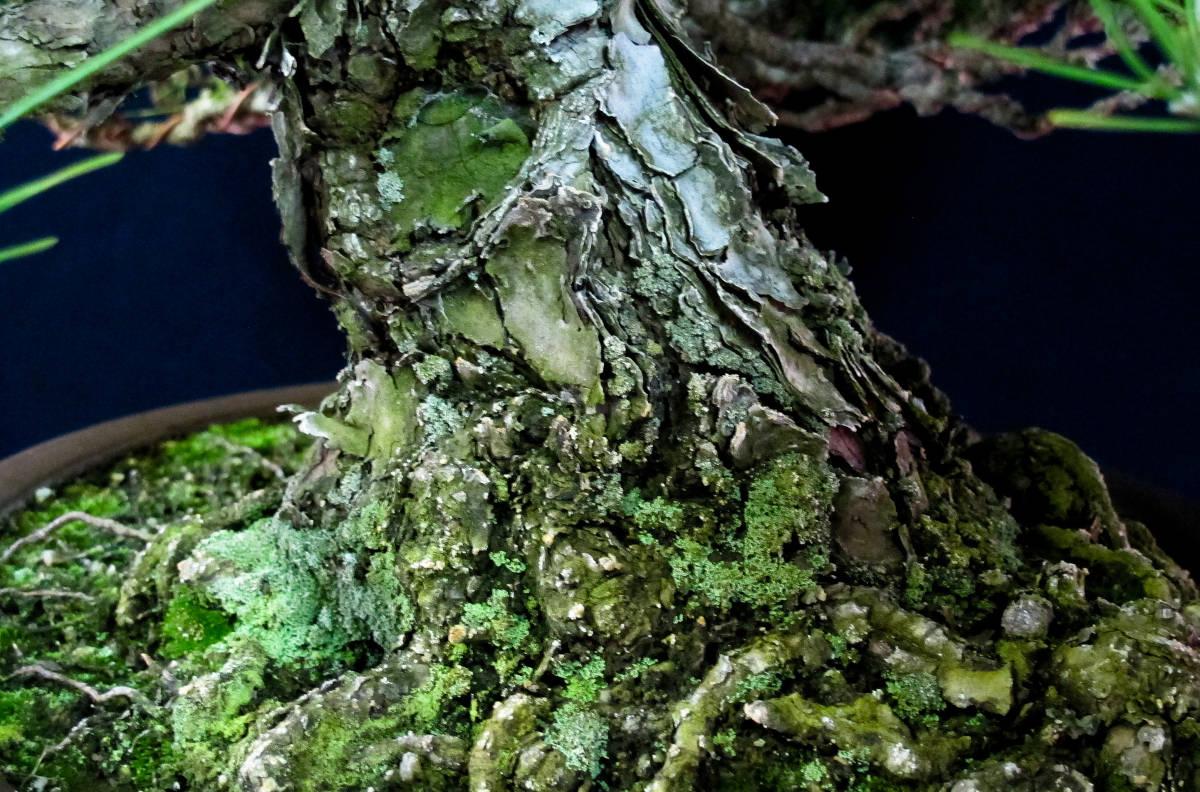 盆栽 中品 本格派 黒松 樹高43cm_画像6