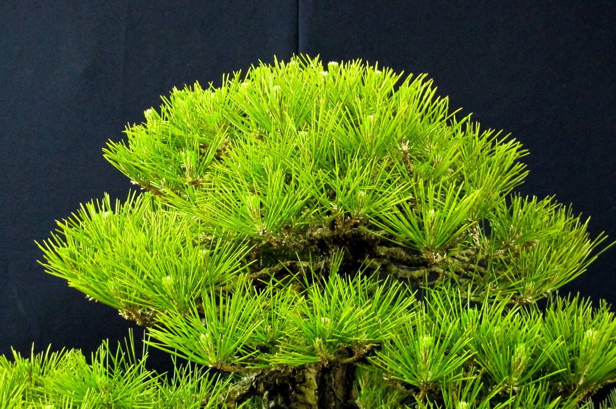 盆栽 中品 本格派 黒松 樹高43cm_画像4