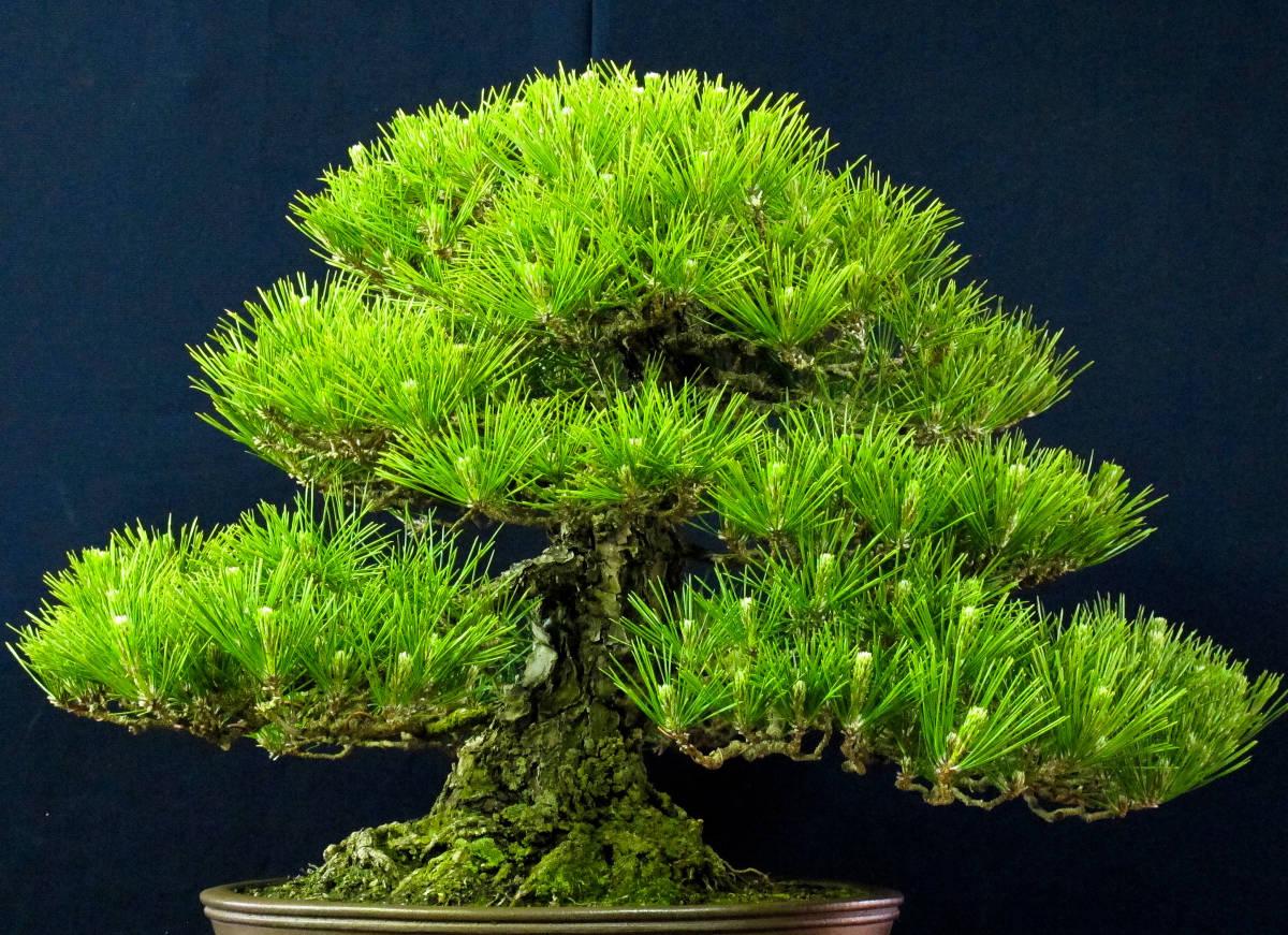 盆栽 中品 本格派 黒松 樹高43cm_画像3