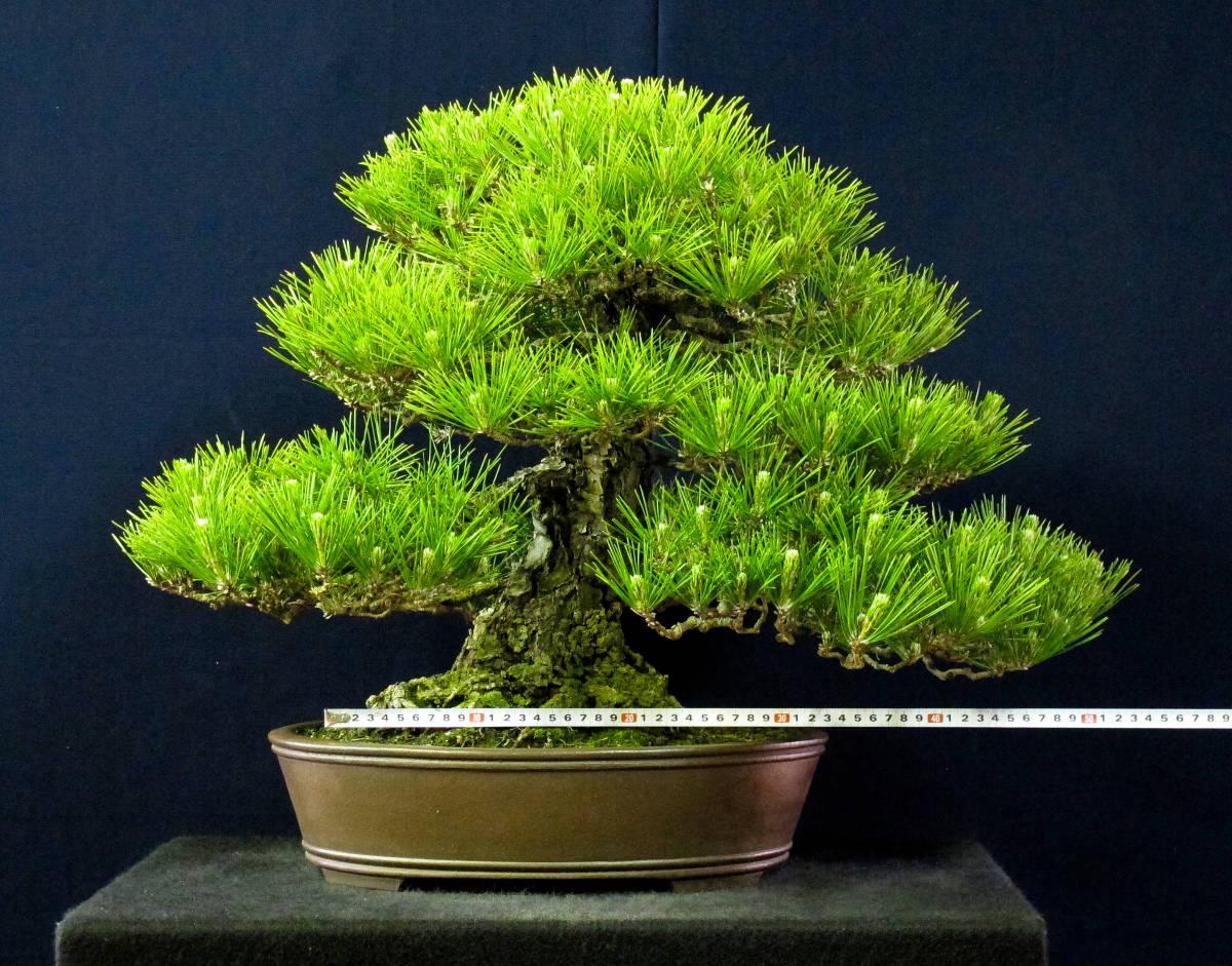 盆栽 中品 本格派 黒松 樹高43cm_画像7