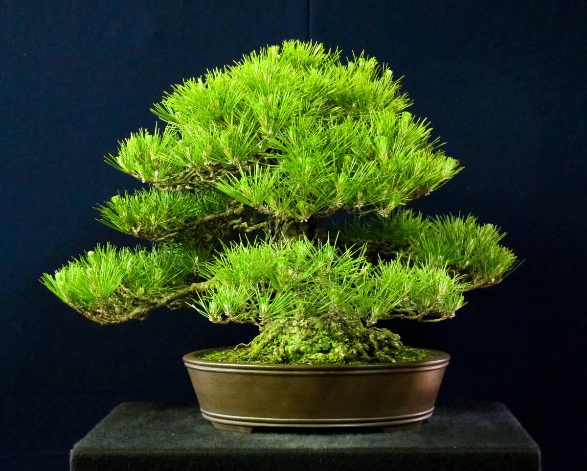 盆栽 中品 本格派 黒松 樹高43cm_画像2