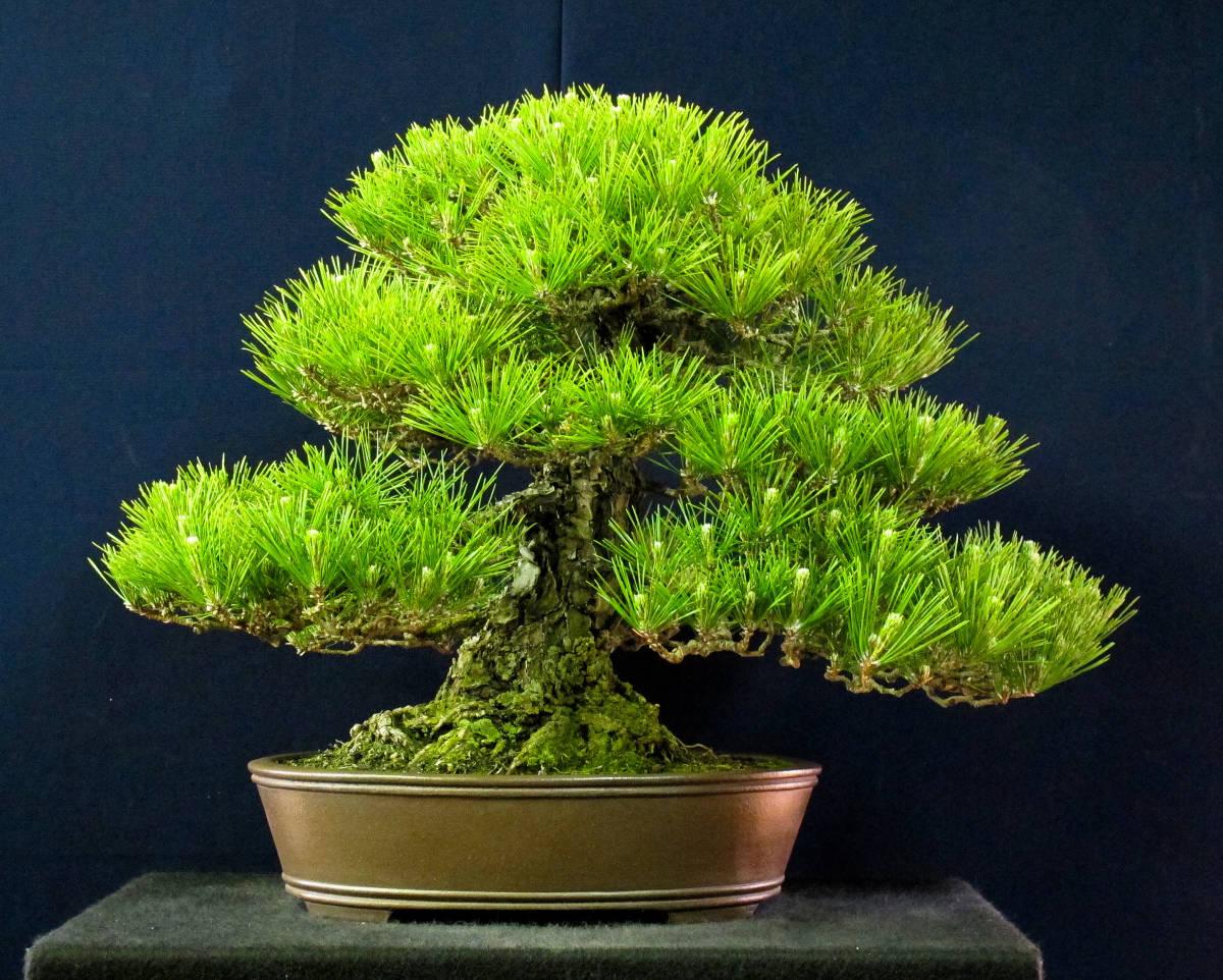 盆栽 中品 本格派 黒松 樹高43cm