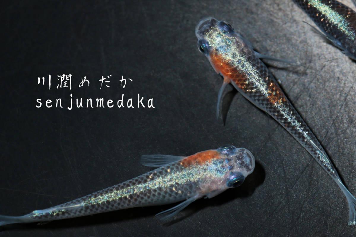 ★川潤めだか★ 【オーロラ黄ラメ体外光】有精卵10個 メダカ_画像6