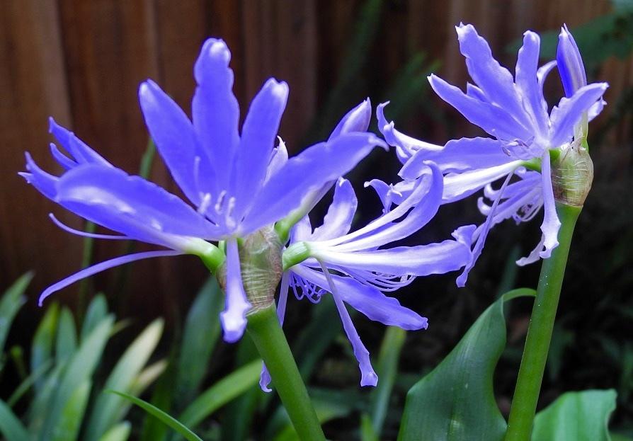 ~珍しい青いお花~ ミニブルーアマリリス グリフィニア エスピリテンシス~_画像2
