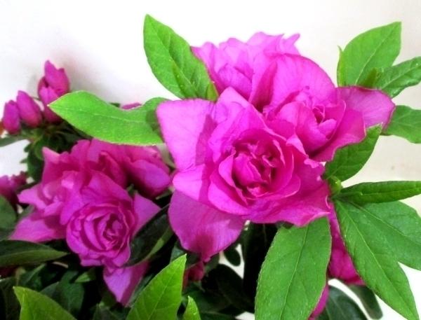 ◆千重大紫(センエオオムラサキ)ツツジ/苗◆訳あり値下げ◆1