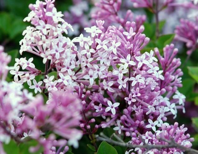 ◆芳香花:姫ライラック パリビン◆ポット苗◆2