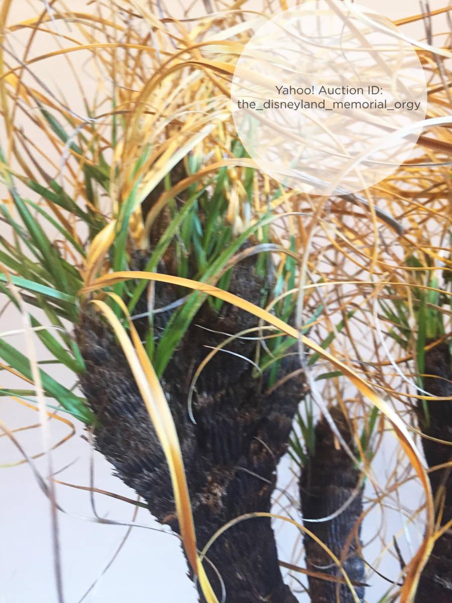 ●植物 Xerophyta retinervis キセロフィタ レティネルビス / ゼロフィタ ベロジア科 // 多肉 サボテン 塊根 コーデックス 珍奇植物 _画像3