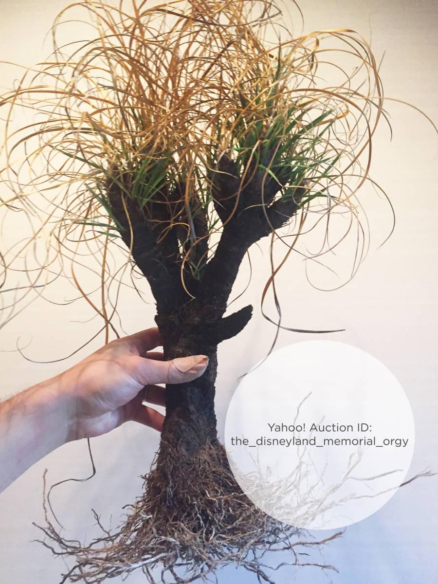 ●植物 Xerophyta retinervis キセロフィタ レティネルビス / ゼロフィタ ベロジア科 // 多肉 サボテン 塊根 コーデックス 珍奇植物 _画像5