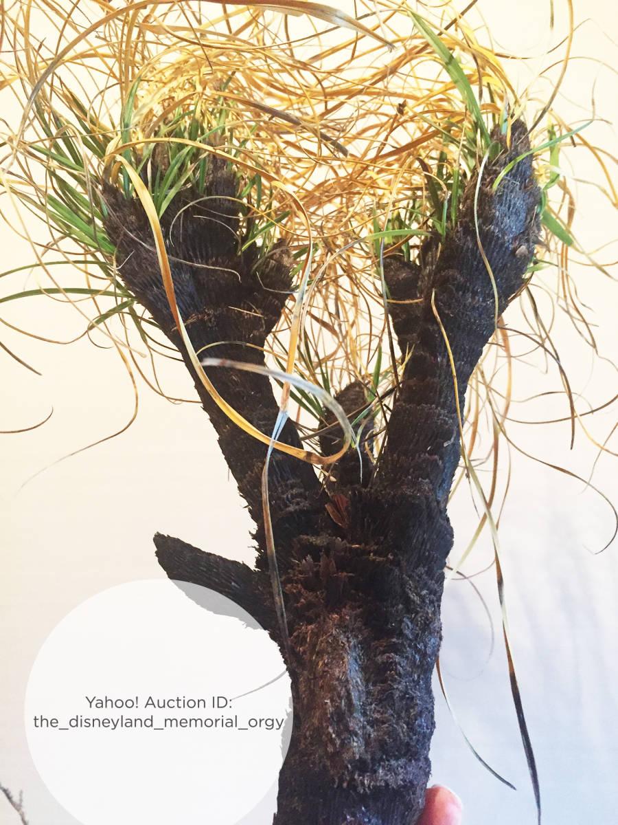 ●植物 Xerophyta retinervis キセロフィタ レティネルビス / ゼロフィタ ベロジア科 // 多肉 サボテン 塊根 コーデックス 珍奇植物 _画像4