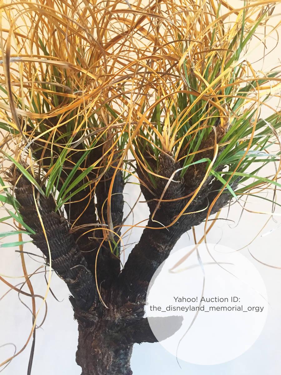 ●植物 Xerophyta retinervis キセロフィタ レティネルビス / ゼロフィタ ベロジア科 // 多肉 サボテン 塊根 コーデックス 珍奇植物