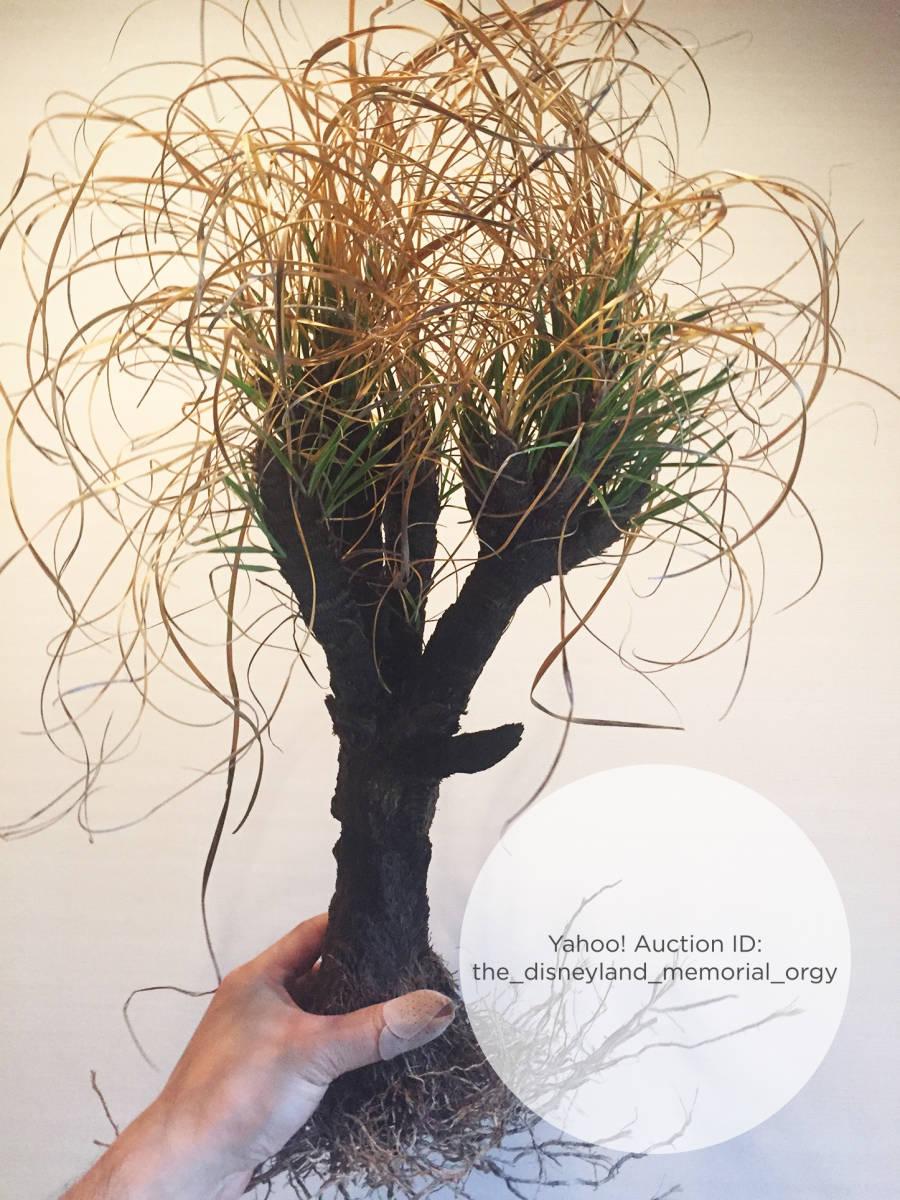 ●植物 Xerophyta retinervis キセロフィタ レティネルビス / ゼロフィタ ベロジア科 // 多肉 サボテン 塊根 コーデックス 珍奇植物 _画像2