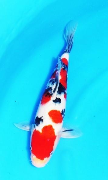おめでとう・・令和元年  お祝いでハイレベル鯉の出品 人気の 株 阪井産 ジャンボ