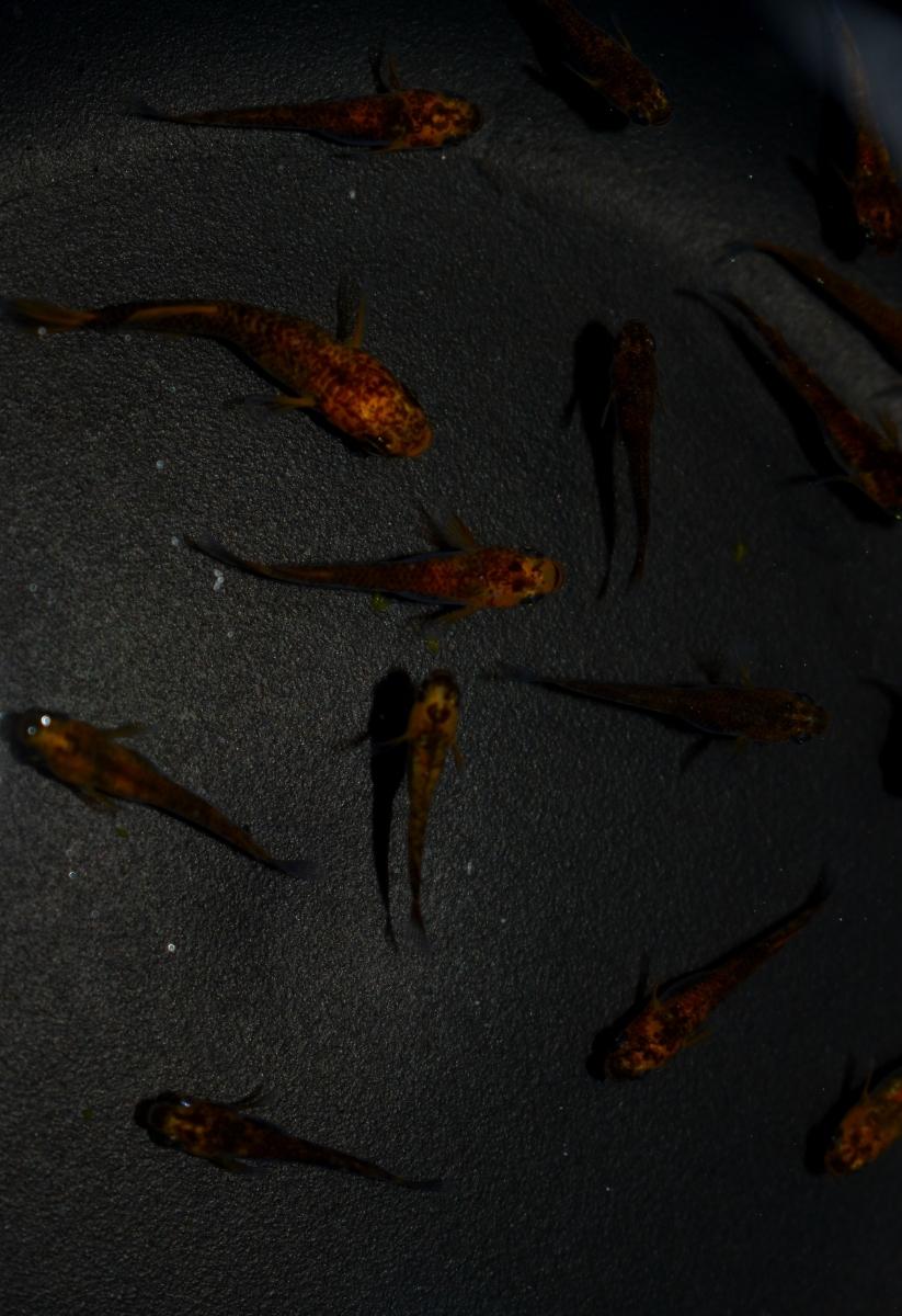 現物限定出品!◆大和メダカ◆ 極上 ◯紅龍◯ 血統 メダカ 稚魚25匹 送料無料。_画像8