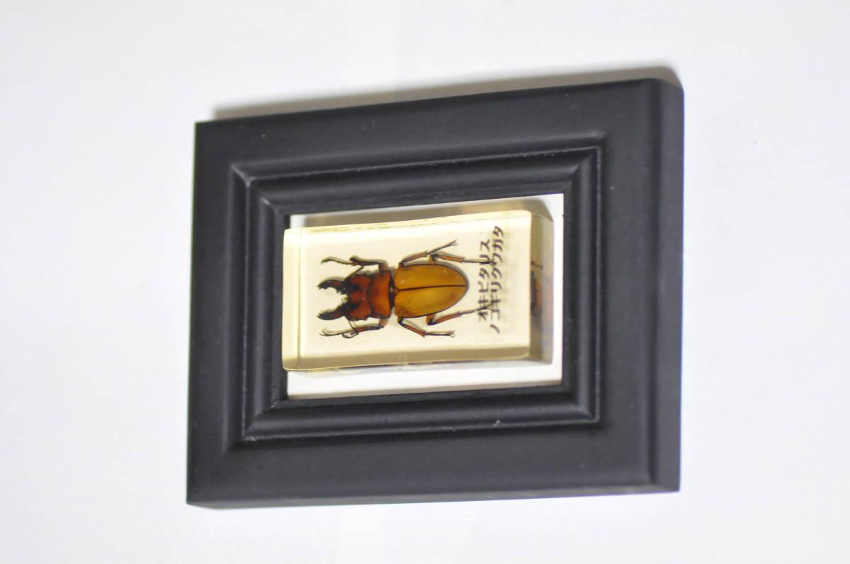 オキピタリス ノコギリクワガタの標本 昆虫標本_画像1