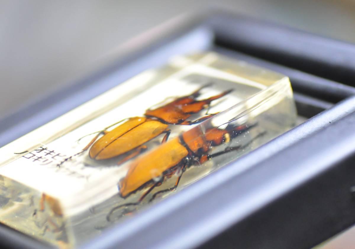 オキピタリス ノコギリクワガタの標本 昆虫標本_画像2