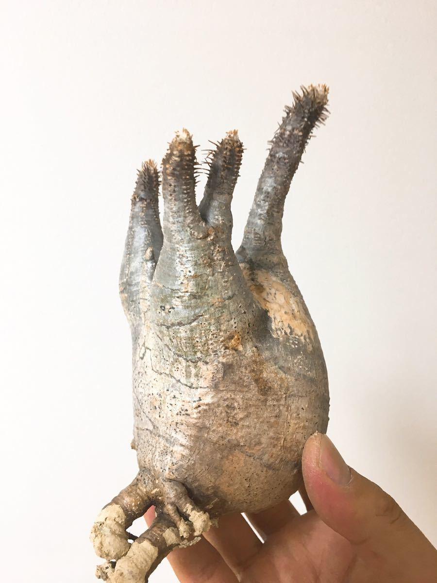 パキポディウム グラキリス 10 (Pachypodium gracilius)_画像4