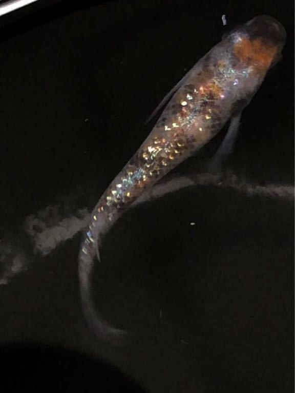 《kunisuppon》『三色ラメ体外光めだか』の卵20個+α個_画像6