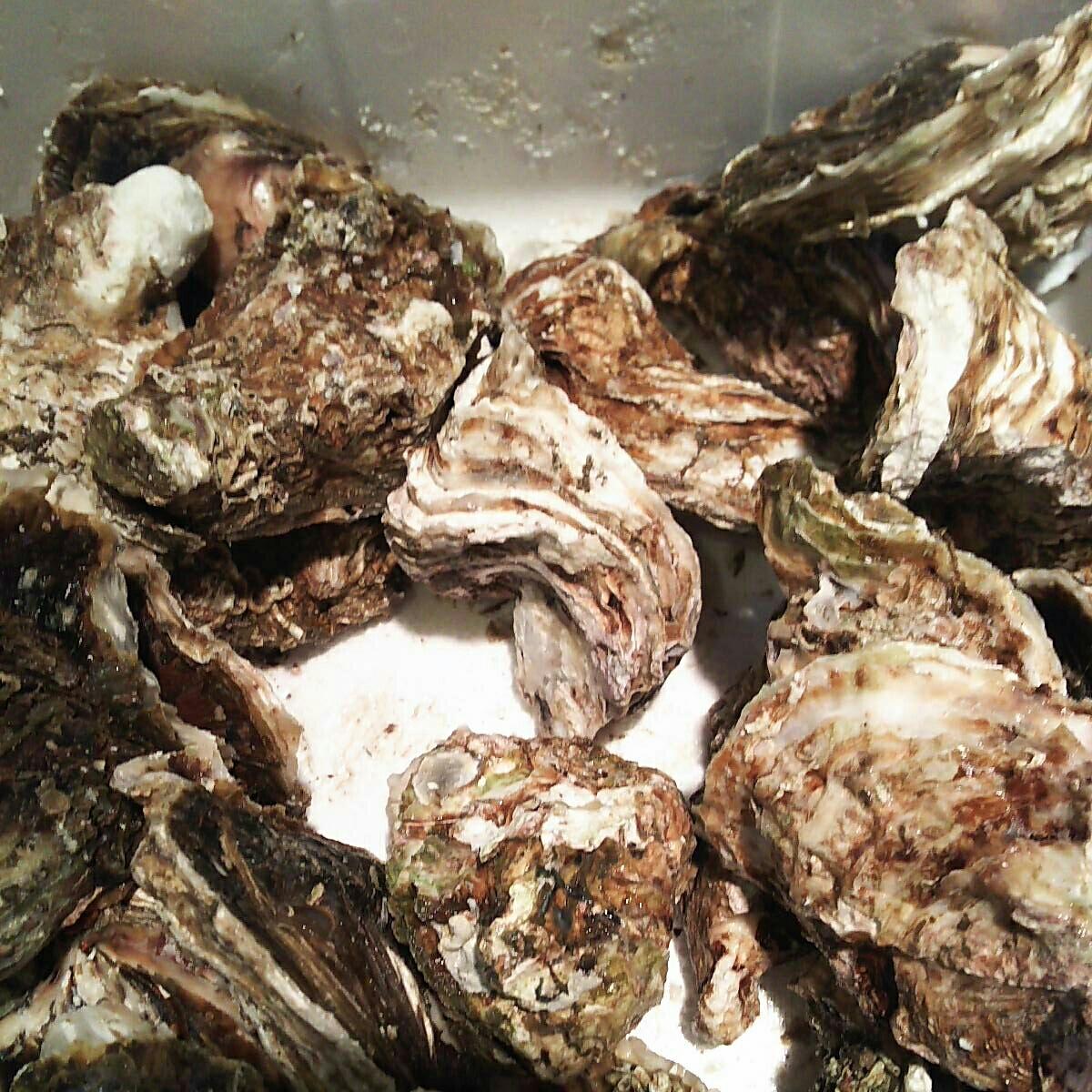 天然岩牡蠣6.5キロ一箱。普通サイズ。普通でも水牡蠣よりも大きい岩牡蠣です。_画像4
