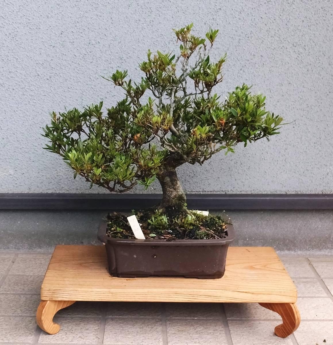 盆栽 小品盆栽 ミニ盆栽 [さつき 皐月 松の誉] 鉢植え日:昭和29年6月
